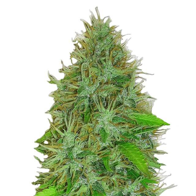 Buy Heavyweight Seeds 2 Fast 2 Vast Auto FEM