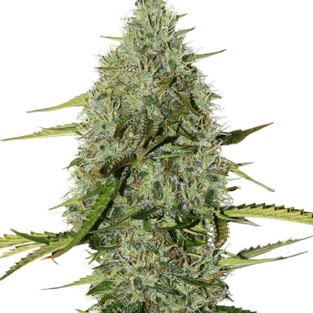 Buy Seed Stockers Seeds BCN Critical XXL Auto FEM