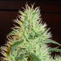 First Lady (White Widow)