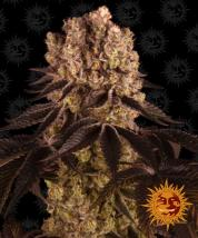 Purple Punch Cannabis Seeds