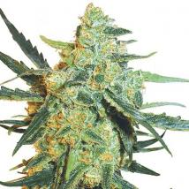 Best Seller - Blueberry Skunk