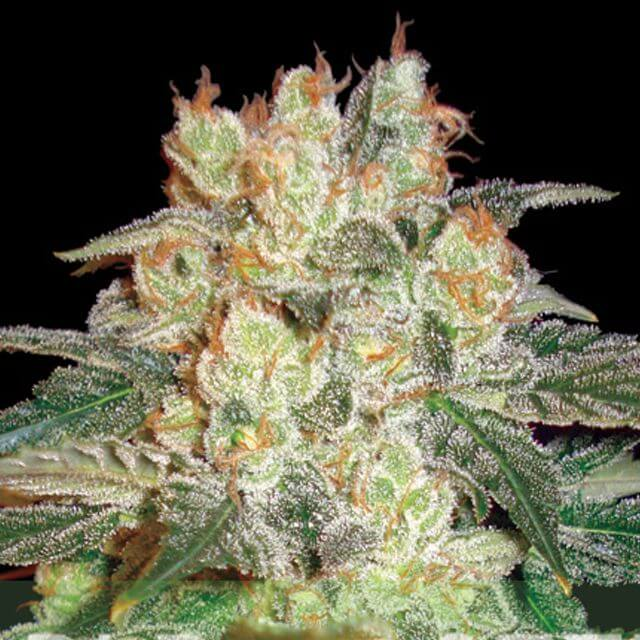 Buy World of Seeds Afghan Kush Ryder FEM