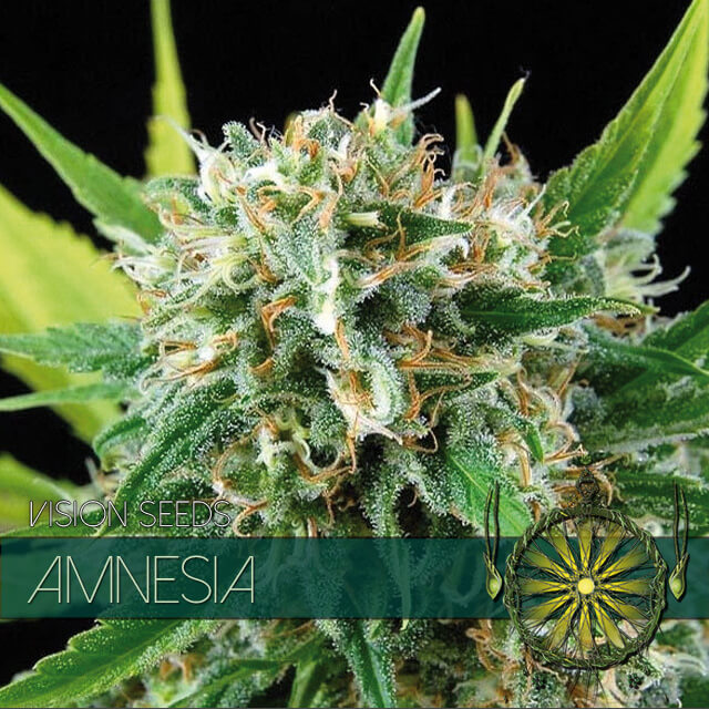 Buy Vision Seeds  Amnesia FEM