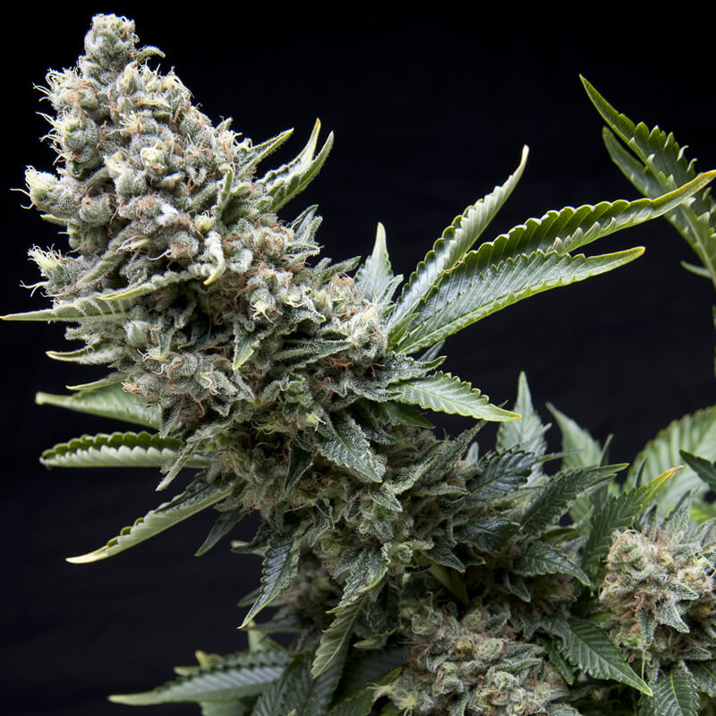Buy Pyramid Seeds Auto New York City FEM